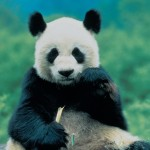 The Giant Pandas of China