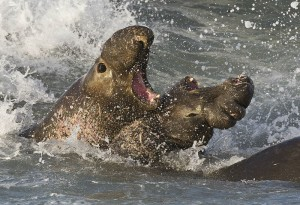 Male elephant seals fighting / Credit: Wikimedia Commons