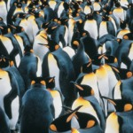 A Sea of Penguins