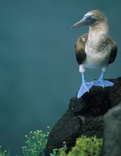 Nice kicks! A blue-footed boobie bird in the Galapagos