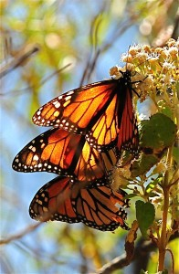 Monarchs sip nectar from flowers.  Photo: Mark O'Brien