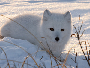 An Arctic Fox!  Photo: Steve Morello