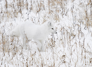 Talk about camouflage! NHA photo. Arctic fox Churchill