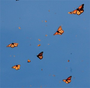 The sun shines through the monarchs' translucent wings.  Photo: Mark O'Brien