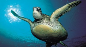 More good news for endangered sea turtles