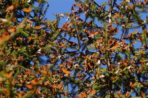 Monarchs on fir branches