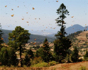 Monarchs over hills