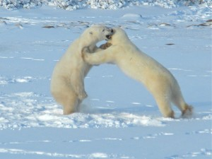 Polar Bears Play-Fighting