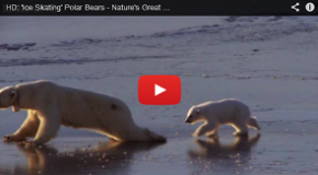 Ice Skating Polar Bears!