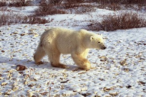 Like most fall visitors, I first went to Churchill to see its polar bears. ©Candice Gaukel Andrews.