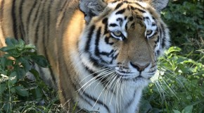 Asian Countries Pledge to Double Tiger Population