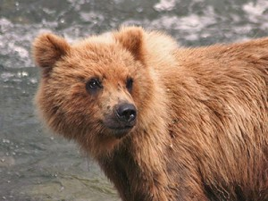 Grizzly cub in Alaska
