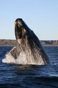 400px-Southern_right_whale-200x300
