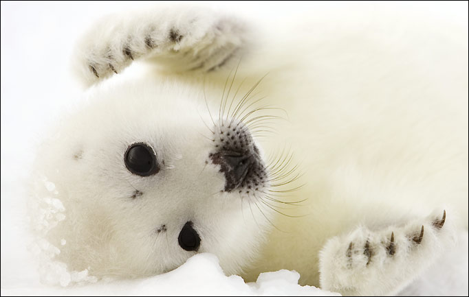Harp seal hunt curtailed, but pups still in peril