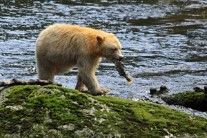 The Spirit Bear lives only on one spot on the map: the Great Bear Rainforest. ©Candice Gaukel Andrews.