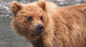 Wildlife Photo: Smiling Grizzly Cub
