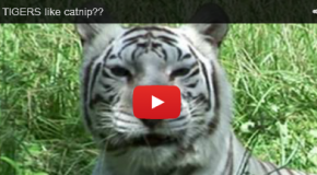 Do Big Cats Love Catnip? Watch and Learn!