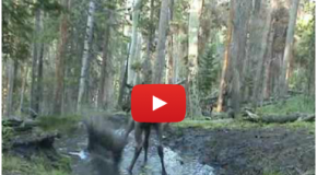 Video: Elk Plays Like No One's Watching