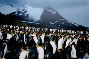 World's largest King penguin colony on South Georgia Island.