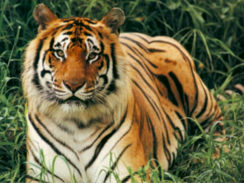 tiger population before