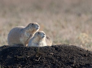 Prairie dogs and canyons