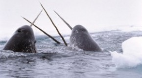 Narwhals: Helping track climate change in the Arctic