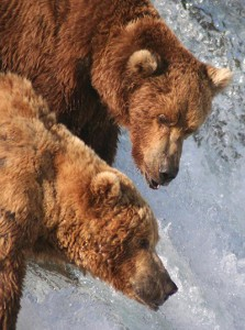 Grizzly bears in Alaska