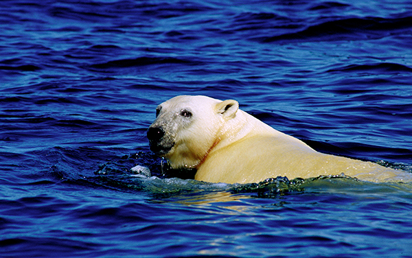 will polar bears become extinct We've all seen the pictures of polar bears  scientists project polar bears will become more food-stressed as  polar bears and climate change: what does.