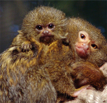 The pygmy marmoset marmoset baby voltagebd Image collections