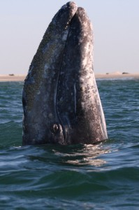 Gray Whale in Baja