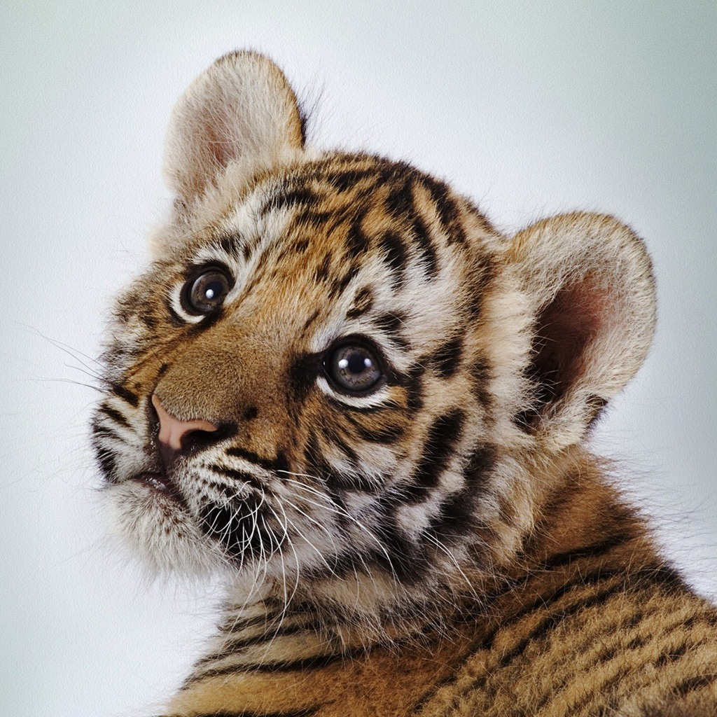 Baby tigers have blue eyes! And other fun tiger facts