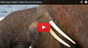 Video: Walrus Beach