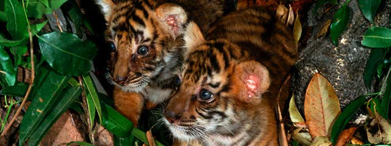 baby tigers have blue eyes