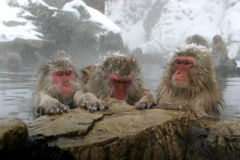 Japan's Snow Monkeys Unscathed by Earthquake