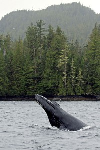Humback whale in British Columbia