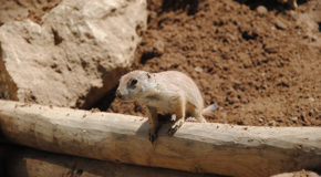 Lemming Suicide: the No. 1 Nature Hoax