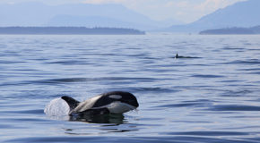 Orca Awareness Month