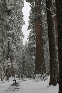 Mariposa Grove, Yosemite National Pari