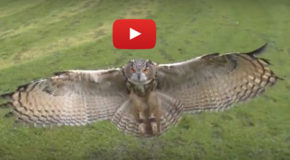 Video: Owl in Flight