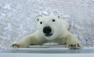 The first country I ever visited was Canada. I went there to see Churchill's polar bears. ©Eric Rock