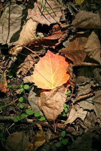 Leaf identification apps may go a step beyond by aiding scientists studying climate change. ©John H. Gaukel