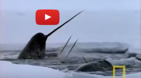 Video: Narwhal Dentist
