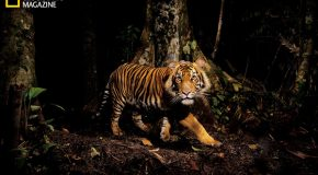 The Desire for Tigers: Is It Enough?