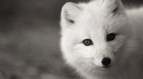 Baffin Island's Wandering Canadian Arctic Foxes