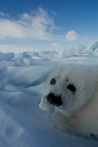 Baby harp seal in the Gulf of St. Lawrence