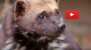 Video: Room for Wolverines to Roam