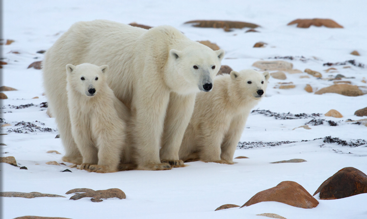 a look at the habitat of the polar bears We know that most people who make the journey north to witness the magic of churchill's polar bears will polar bear experience natural habitat.