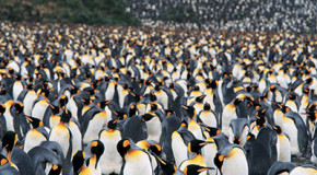 More Penguins—and People—in Antarctica than Previously Thought