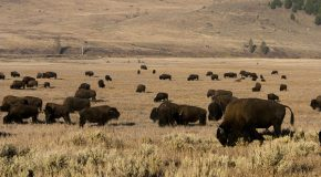 Moving Bison with a Song