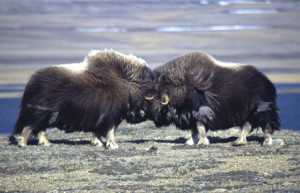 Musk oxen butting heads. Photo: Parks Canada
